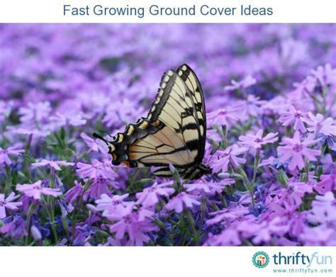 fast growing ground cover fast growing ground cover ideas gardens beautiful and nice