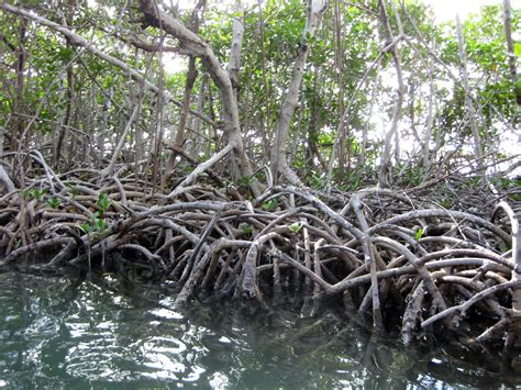 Roots Of Mangrove Trees   www.pixshark.com - Images