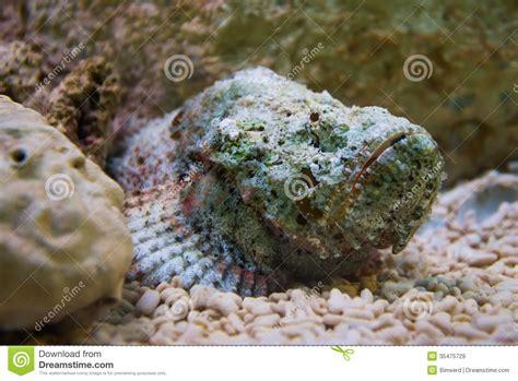 poissons de scorpion dans l aquarium images libres de droits image 35475729