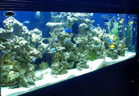 d 233 cors pour aquariums de cichlid 233 s aquaroche