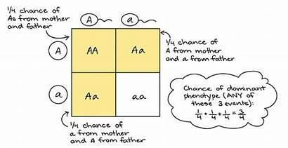 Punnett Worksheet Square Genetics Mendel Cross Squares