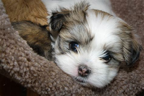 maltese shihtzu puppies  mias cat tunnel wendys