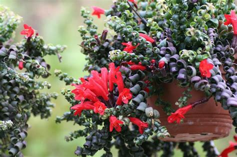 lipstick plant care indoors aeschynanthus rasta the curly leaved lipstick plant i need one of these guys houseplants