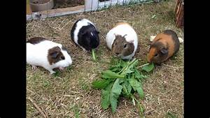 Part 1 Lets Go And Feed My Guinea Pigs Some Dandelion