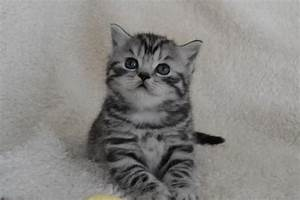 British shorthair silver tabby kittens for sale uk ...