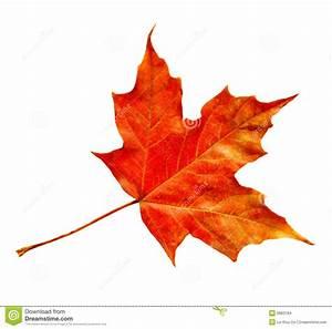 Maple Leaf Stock Images - Image: 6683184
