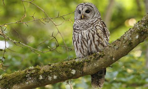 barred owl birds of north america online