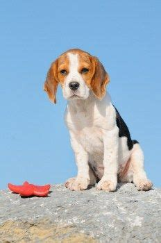 Bench Beagle by Defination Of Bench Leg Beagle Beagles Pocket