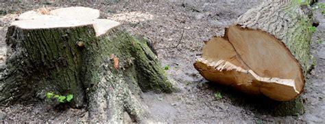 comment abattre  arbre en pratique
