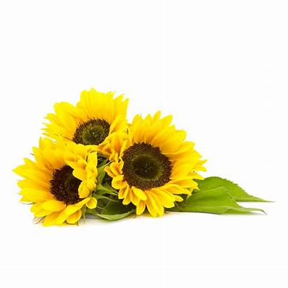Sunflower Clipart Oil Transparent Background Sunflowers Yellow