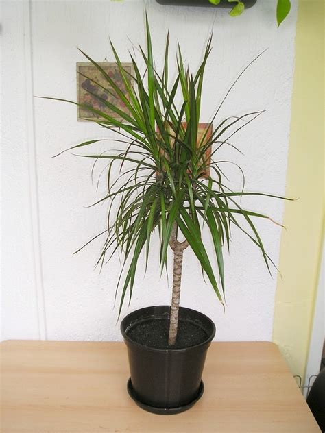 dracena marginata pflege drachenbaum dracaena maginata in bicolor tricolor 187 majas pflanzenblog