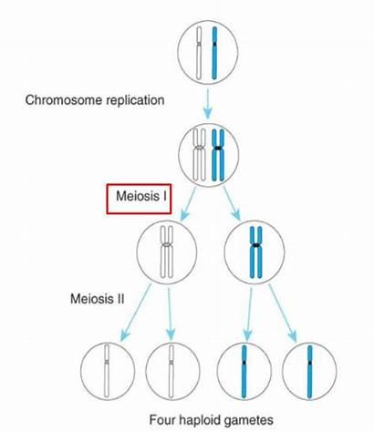 Meiosis Mitosis Cells Daughter Genetic Makeup