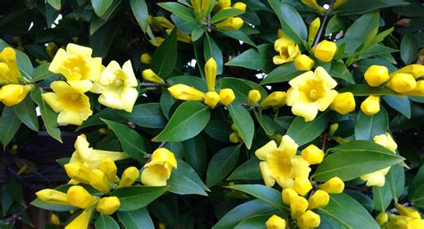 yellow flower vines pictures lit s living on capitol hill hell the yellow flower vine fairyland
