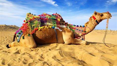animal camel seating  sand hd wallpapers