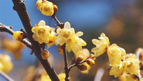 fiore calicanto agricola calicanto invernale