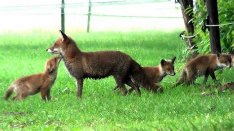 vosjes mama vos met  van de  jongen fox youtube