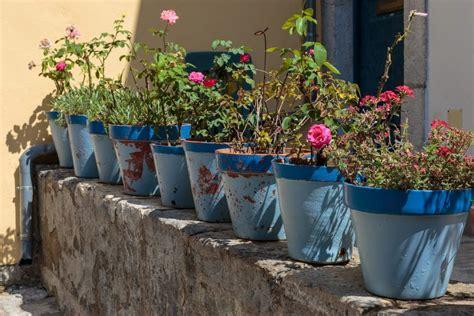 Come Curare Le In Vaso by Come Curare Le In Giardino O In Vaso Ecco Come Non