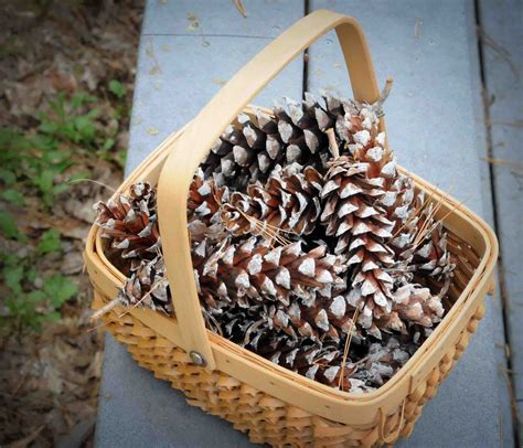 pine cones for crafts gonna stuff a chicken ideas for pine cone christmas crafts for kiddos