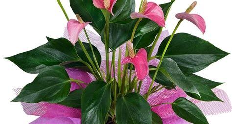 piante e fiori d appartamento piante da appartamento piante appartamento scegliere