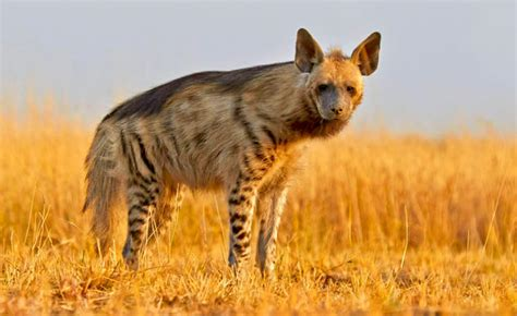 striped hyenas dont  magical powers