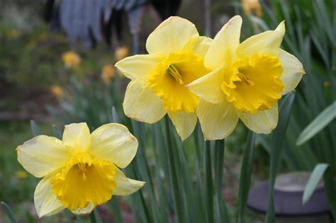 pruning daffodils    hgtv