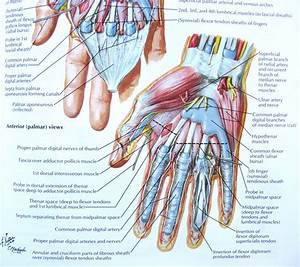 Notes On Anatomy And Physiology  The Hand And The Tiger U2019s