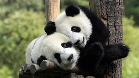osos panda  fondos de pantalla  wallpapers