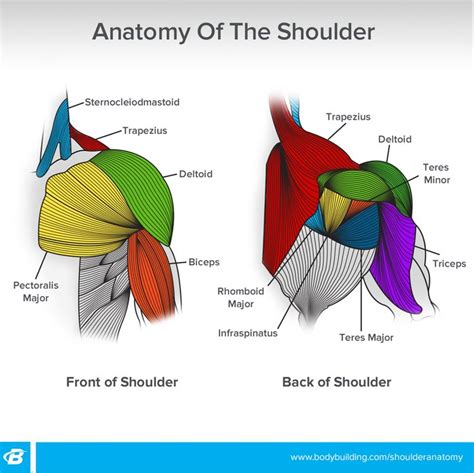 If you are going to take up weight training, you should familiarize yourself with your musculoskeletal system, or at least learn the names of the. Shoulder Workouts For Women: 4 Workouts To Build Size And ...