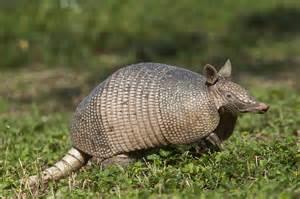 Texas State Animal Armadillo