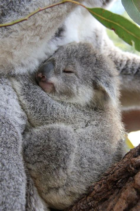 Best 25+ Koalas Ideas On Pinterest  Baby Koala, Cute Koala Bear And Koala Bears