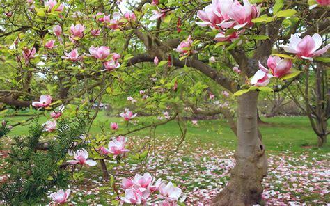 magnolia hd wallpaper background image  id
