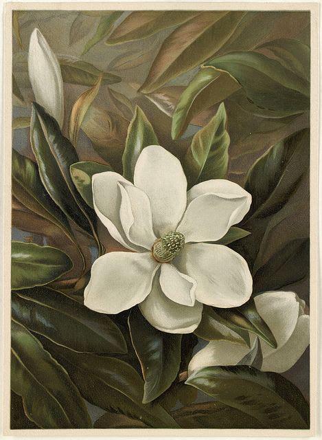 magnolia grandflora illustrations  art flower art