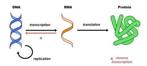 reverse transcription bioninja