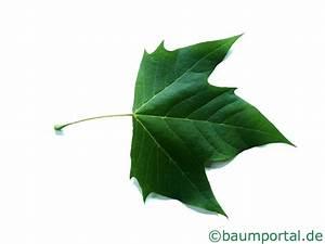 Linde Baum Steckbrief : baumbl tter bl tter von b umen ~ Orissabook.com Haus und Dekorationen