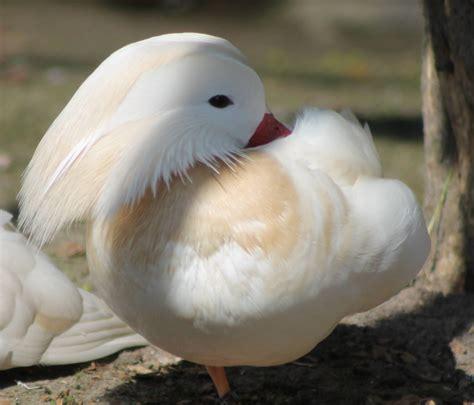 White Mandarin Duck Male Zoochat