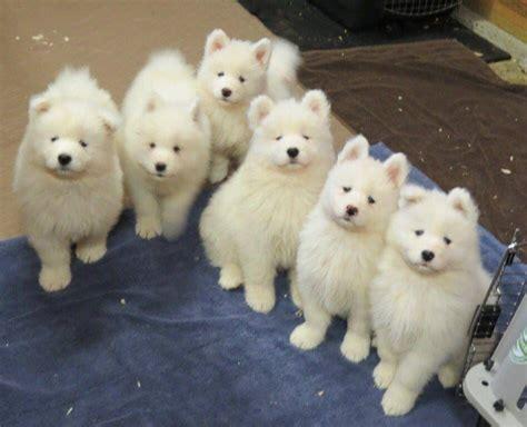Samoyed Puppy Gang Samoyed Smiles Chien Animaux