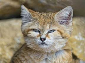 sand cat for 9 things you didn t about the sand cat mnn