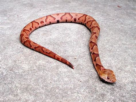 copper colored snake venomous snakes coldspring terrace
