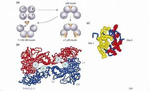 The insulin receptor: a prototype for dimeric, allosteric ...