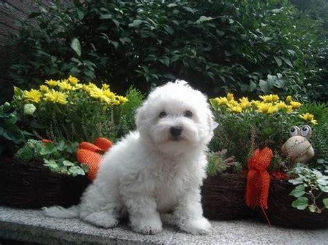 images  bolognese  pinterest puppy names