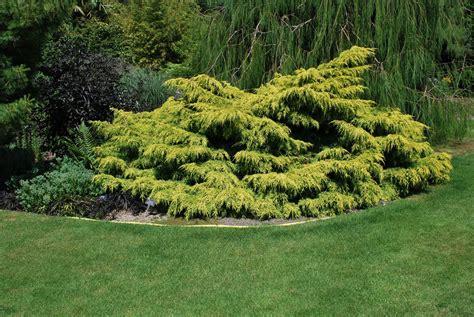 Juniperus x pfitzeriana 'Old Gold' Vidējais kadiķis ...