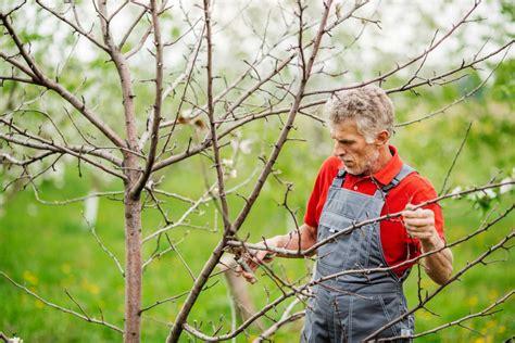 apfelbaum schneiden zeitpunkt apfelbaum schneiden diese 4 punkte sind zu beachten