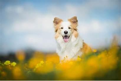 Animals Dog Border Collie Desktop Wallpapers Background