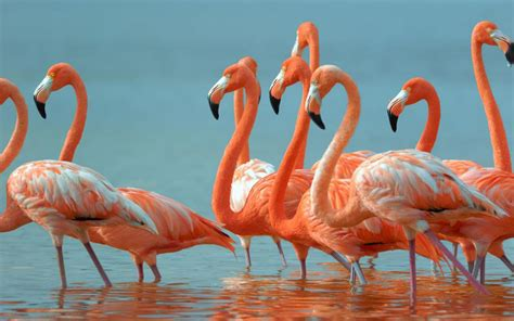Flamingos Beautiful Exotic Birds Desktop Hd Wallpaper ...