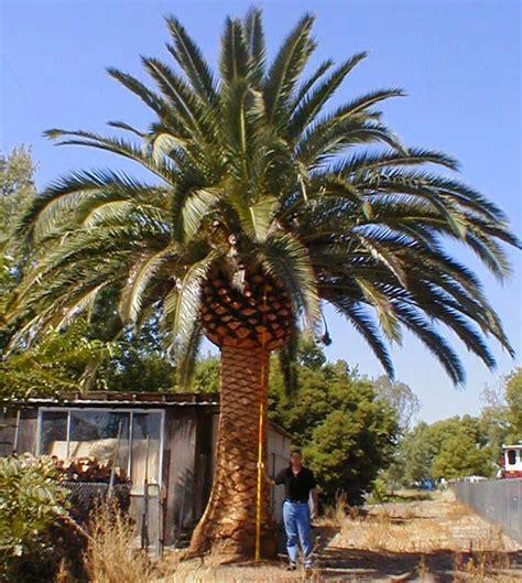 Palmeira Das Canárias: Bela e Robusta   Flores - Cultura Mix