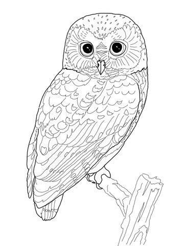 northern  whet owl coloring page supercoloringcom