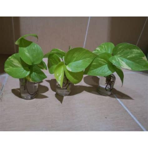 พลูด่าง ต้นไม้ฟอกอากาศ (ขวดแก้ว50/325/500ml)   Shopee Thailand