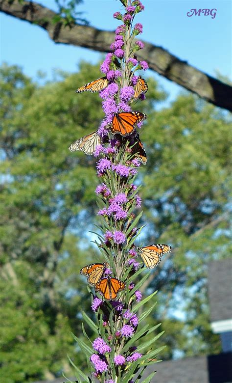 plants for butterfly garden butterfly plants list butterfly flowers and host plant ideas