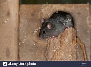 Ratte Im Haus : rat stockfotos rat bilder alamy ~ Buech-reservation.com Haus und Dekorationen