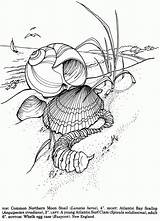 Coloring Pages Shells Seashells Shell Dover Publications Sea Printable Drawing Doverpublications Seashell Von Adult Colouring Dessin Welcome Adults Sheets Ocean sketch template